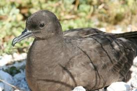 Muttonbird