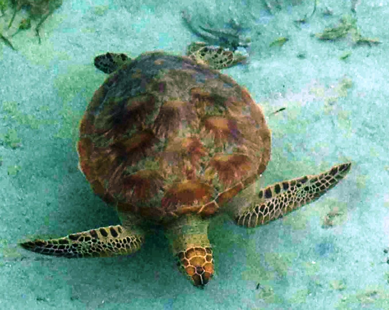 sea turtle swimming top view